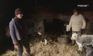 FOKUS TV serial ROLNICY. Podlasie 🔝 Gienek zastanawia się nad sprzedażą krowy.🐄🐮