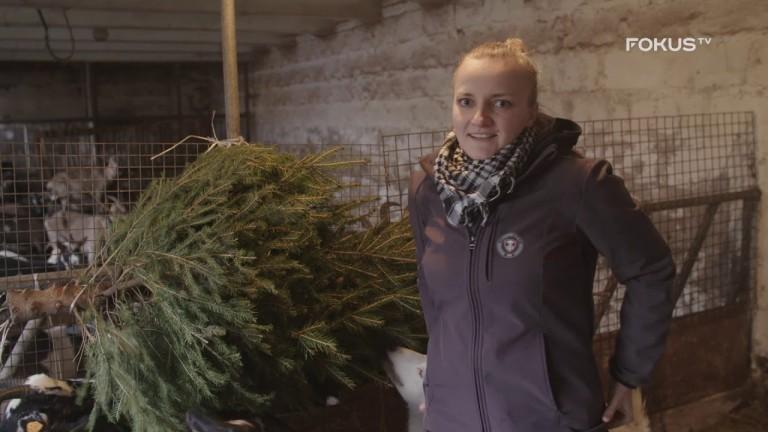 """FOKUS TV serial ROLNICY. Podlasie 🔝 Emilka: """"(...)po świętach dostaliśmy tira choinek dla kóz!""""🌲🐐"""